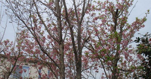 桜が咲きました、、、ISAKOのひとりごと