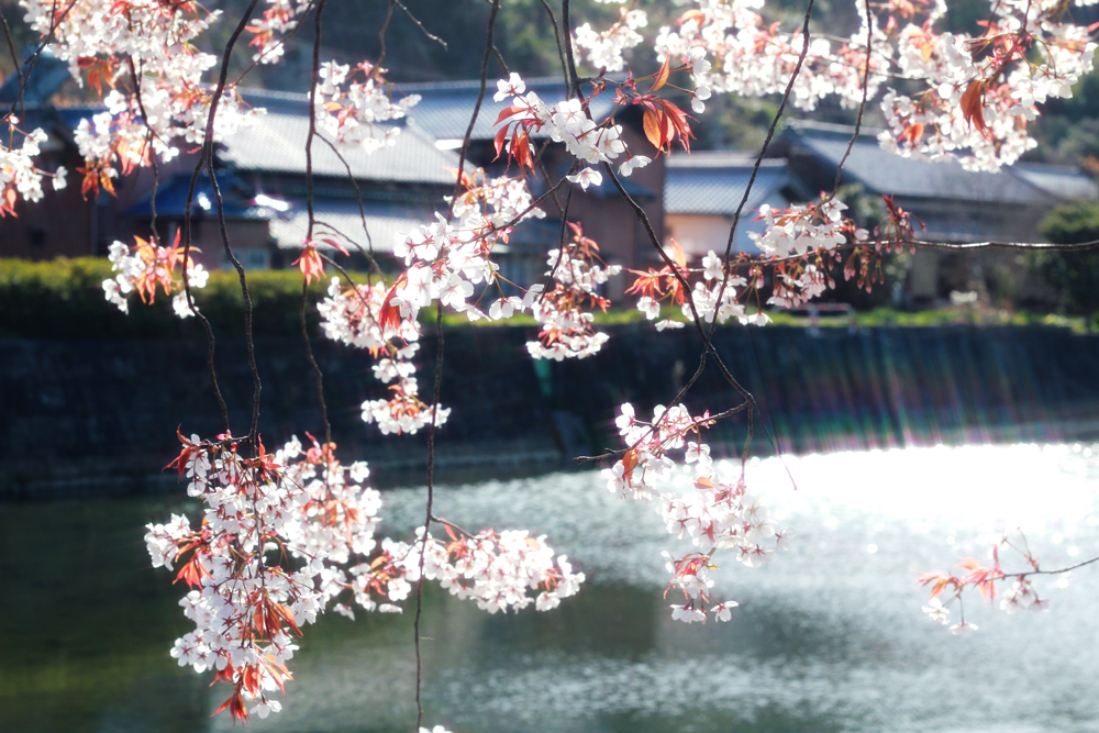 ガラスアクセサリーコムデシオアトリエ周辺の桜