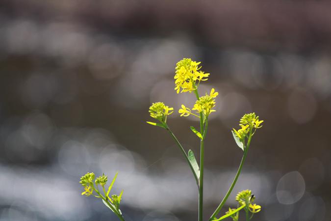 三重県津市の風景、菜の花