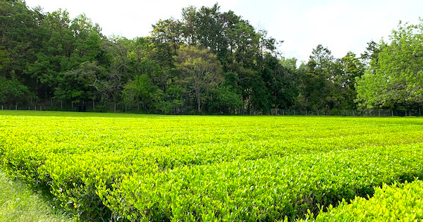 五月晴れの日、兄の茶畑に行って来た。