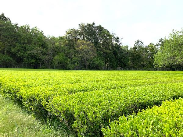 秋晴れの日、兄の茶畑に行って来た。